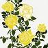 庭にバラ 黄色