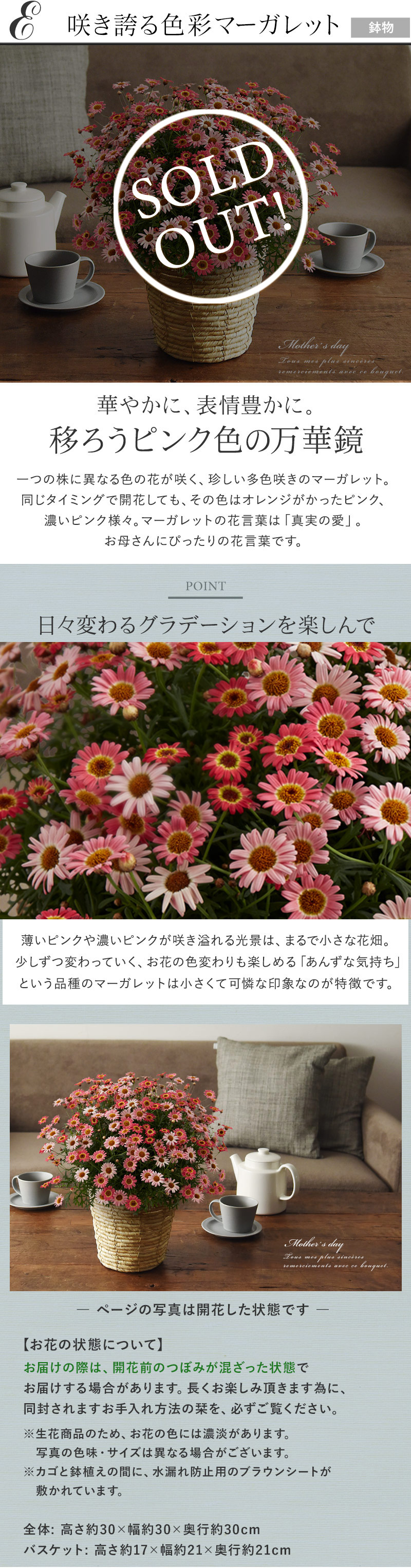 E咲き誇る色彩マーガレット