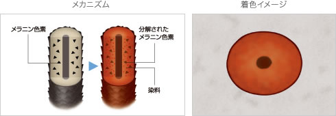永久染毛剤のメカニズムと着色イメージ