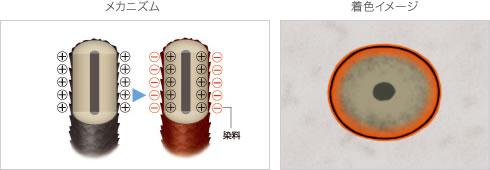 半永久染毛剤のメカニズムと着色イメージ