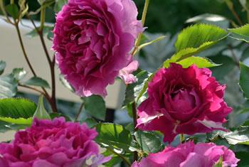 バラ栽培の基本