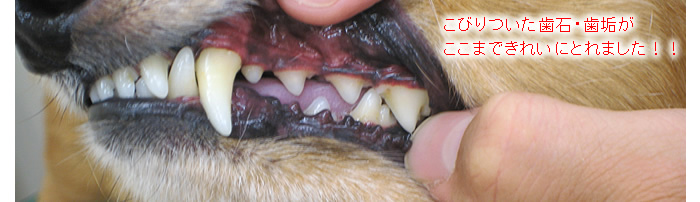 当店では、歯石とり&歯磨きを麻酔をかけずに行うので安心です。