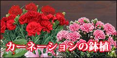 カーネーションの鉢植 母の日の贈物