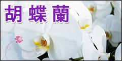 胡蝶蘭の贈物 母の日、父の日、お中元、お歳暮、開店祝 花