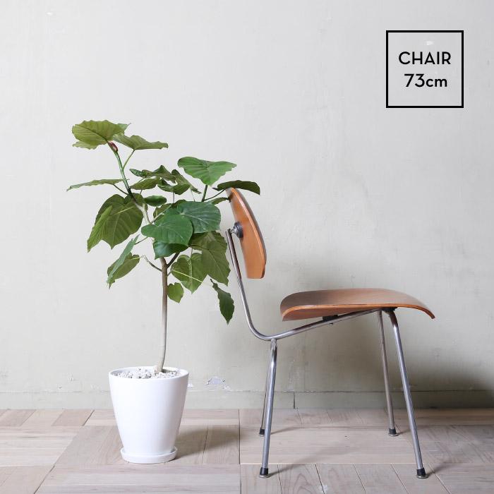 フィカス・ウンベラータ / Ficus umbellata