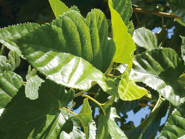 島根県産有機桑の葉