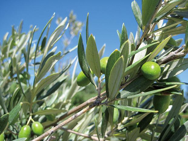 ヨーロッパ産有機オリーブ葉葉