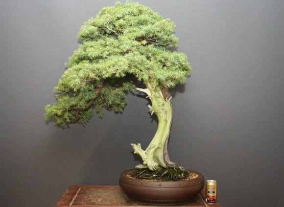 山採り杜松 大品盆栽/樹齢80年