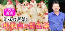 砂地のハウスで低農薬栽培!安心の和歌山産新生姜!
