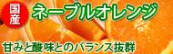 国産ネーブルオレンジ