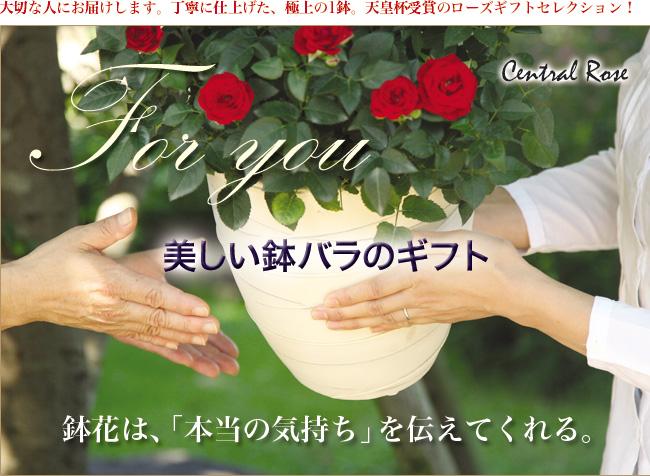 美しい鉢バラのギフト