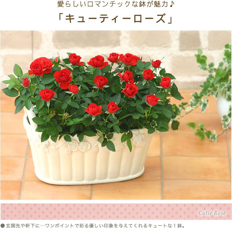 愛らしいロマンチックな鉢が魅力♪「キューティーローズ」