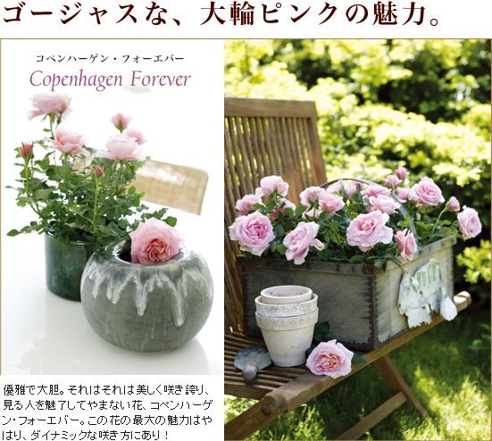 ゴージャスな、大輪ピンクの魅力。「コペンハーゲン・フォーエバー」優雅で大胆。それはそれは美しく咲き誇り、見る人を魅了してやまない花、コペンハーゲン・フォーエバー。この花の最大の魅力はやはり、ダイナミックな咲き方にあり!