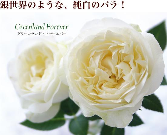 銀世界のような、純白のバラ!グリーンランド・フォーエバー