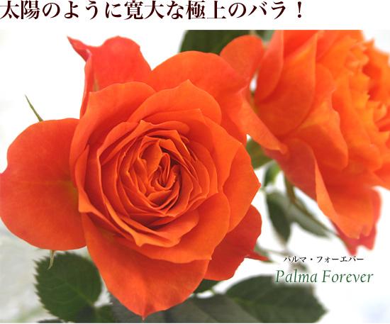 太陽のように寛大な、極上のバラ。「パルマ・フォーエバー」