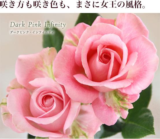 咲き方も咲き色も、まさに女王の風格。ダークピンク・インフィニティ