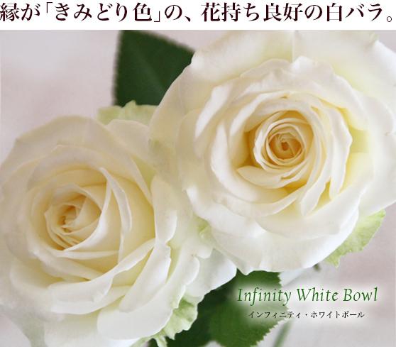 縁が「きみどり色」の、花持ち良好の白バラ。インフィニティ・ホワイトボール
