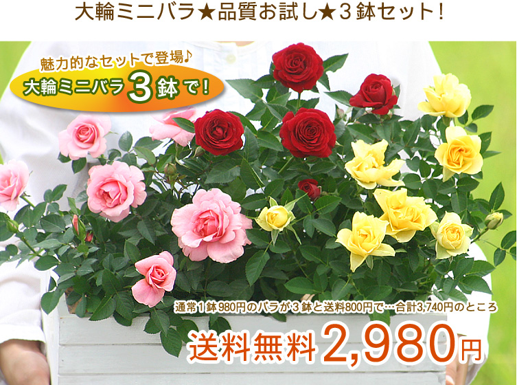 大輪ミニバラ★品質お試し★3鉢セット!