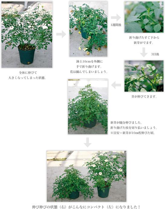 ミニバラ の 植え 替え