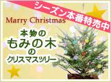 もみの木でクリスマス