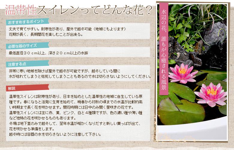 温帯性スイレンってどんな花?