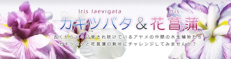 カキツバタ&花菖蒲