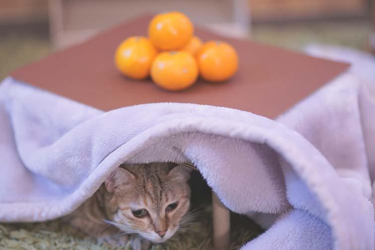 SNS映え間違いなし!猫用こたつがついてくるみかん5kgセット「猫と、こたつと、思い出みかん」の2020年度予約受付が2/22から開始