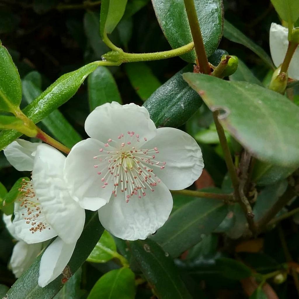 レザーウッドの花