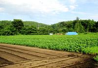 8月のエゴマ畑