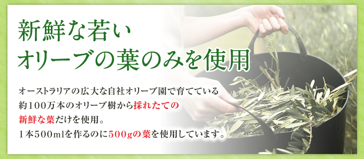 新鮮な若いオリーブの葉のみを使用