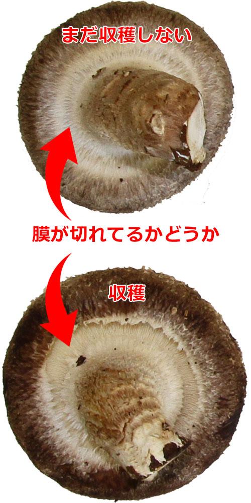 栽培 キット 椎茸 家庭用しいたけ栽培キットにカビが生える原因