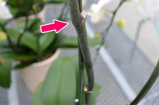 の 方 育て 蘭 胡蝶