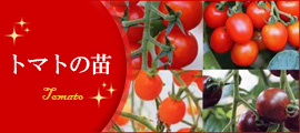 トマトの苗