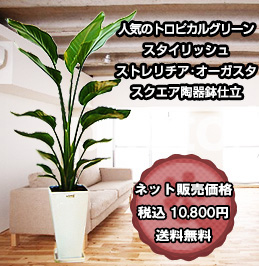人気のトロピカルグリーン スタイリッシュ ストレリチア・オーガスタ スクエア陶器鉢仕立