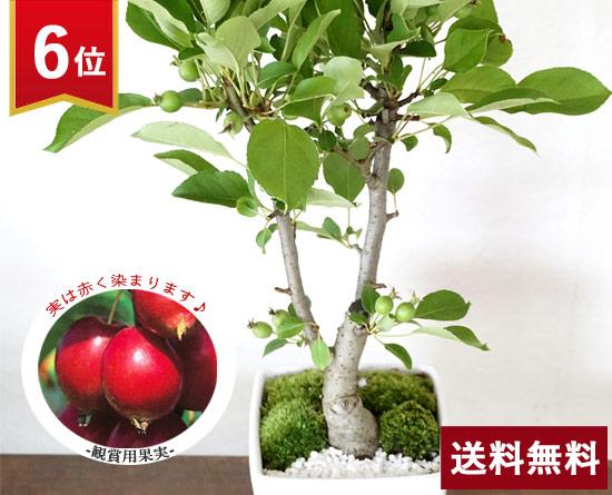 \6位/ひめリンゴ盆栽☆生産者応援ギフト
