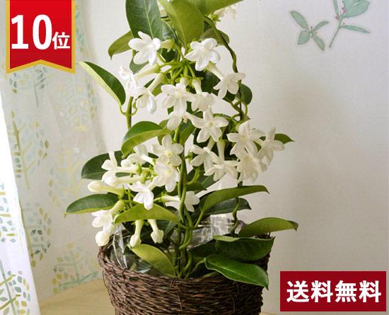 \10位/爽やかな花鉢ジャスミン花鉢