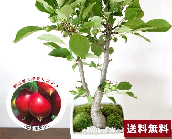 ひめリンゴ盆栽☆生産者応援ギフト