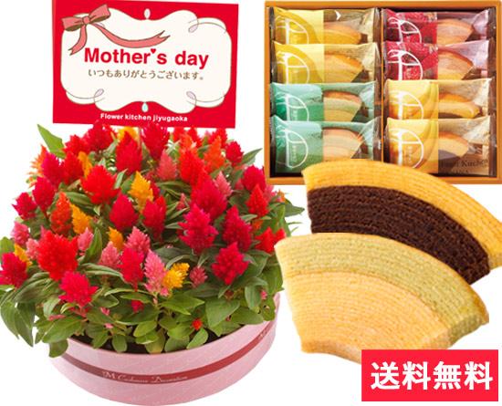 ケーキ風♪ケイトウ花鉢とプレミアムスイーツのセット