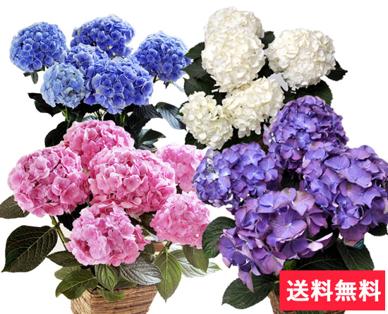 母の日グラデーションあじさい 5号鉢 少しずつ変化する花色が楽しめるあじさい♪