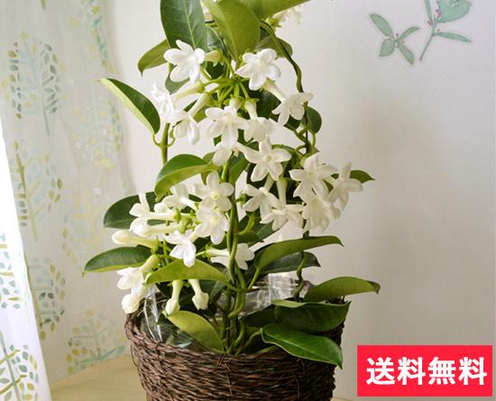 母の日 選べるフラワーギフト 白く美しい花と甘くさわやかな香りのジャスミン花鉢♪