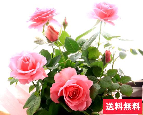 母の日選べる季節の花鉢ギフト 上品で華やかなバラの花鉢♪