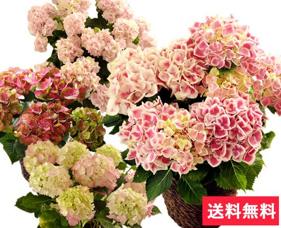 ピンクあじさい5号鉢 花言葉は「元気な女性」