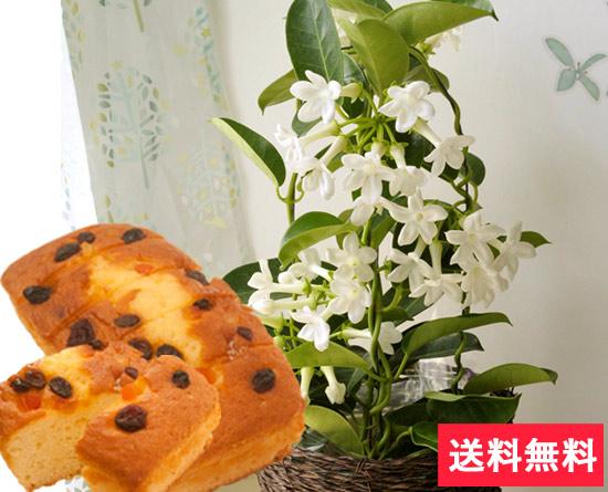 ジャスミン花鉢とスイーツのセット♪ 白く美しい花と甘くさわやかな香りのジャスミン花鉢♪