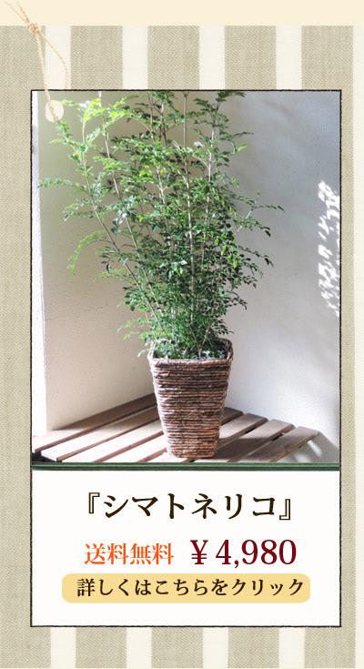 シマトネリコ4298