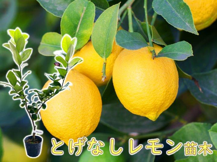 とげなしレモン