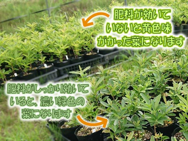 肥料の効き具合