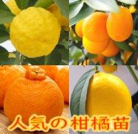 人気の柑橘苗