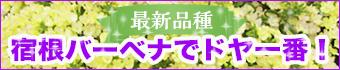 最新品種の宿根バーベナ