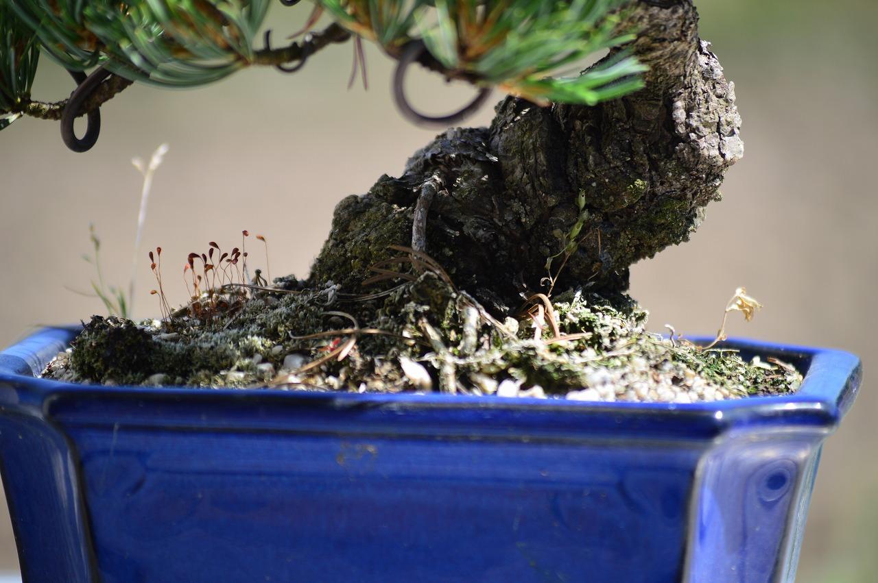 只旋转表设置老年的松树盆景长崎锅入