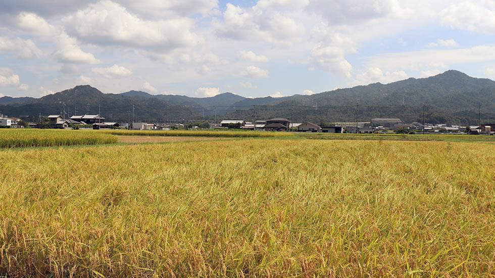 生産者「西村さん」の水田